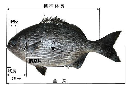 魚の各部位の測定方法